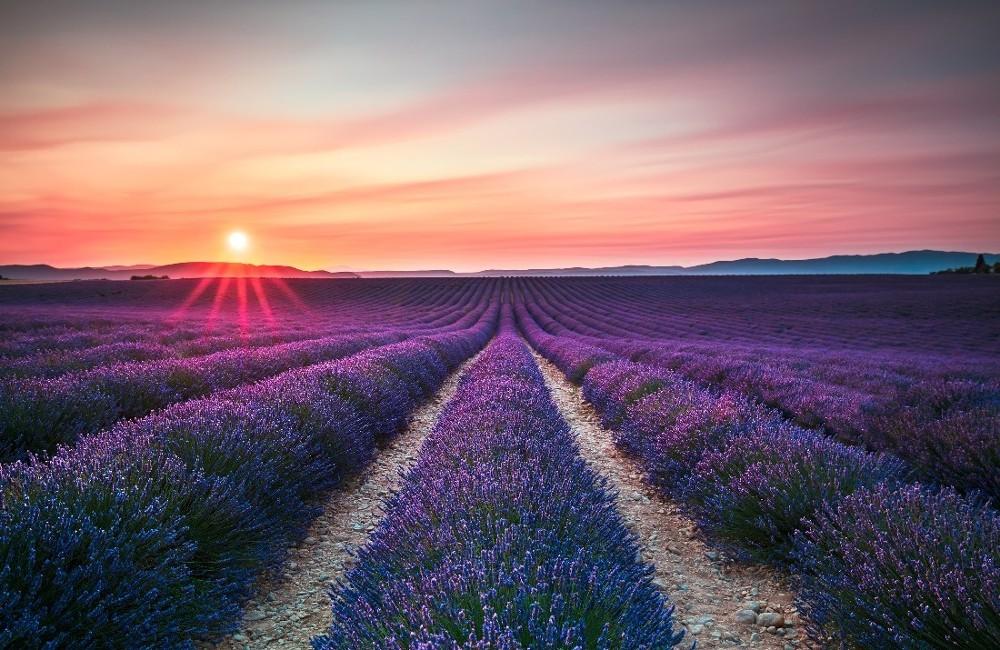 bigstock-Provence-Lavender-Flower-Blooming-Field-962880411